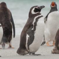 Magellanic Penguins at Gypsy Cove, Falkland Islands