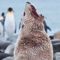 Antarctica fur seal encounter one ocean expedition Contours Travel DavidSinclair