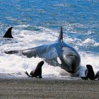 Patagonia Argentina Puerto Madryn Valdes Peninsula Orca Contours Travel