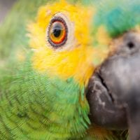 Brazil Araras Pantanal EcoLodge - wildlife Blue Fronted Parrot Contours Travel