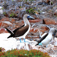 Ecuador Galapagos Blue-footed booby courtship dance on North Seymour Island _ Flickr (2)