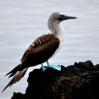 Ecuador Galapagos Blue-footed booby on Isabela Island Flickr