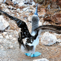Ecuador Galapagos Blue-footed booby on North Seymour Island Flickr