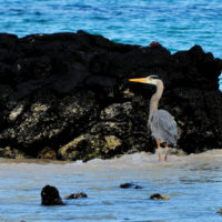 Ecuador Galapagos Blue heron on Santa Cruz Island John Solaro Flickr