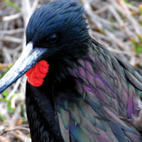 Ecuador Galapagos Frigate bird on North Seymour Island John Solaro Flickr