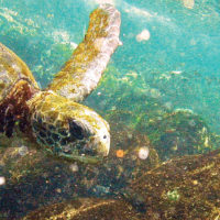 Ecuador Galapagos Les Williams flickr green-sea-turtle-at-tagus-cove_15870675785_o