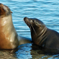 Ecuador Galapagos Les Williams flickr sea-lion-competitors_15684953347_o
