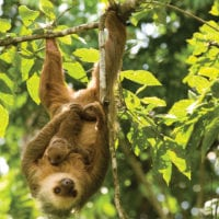Sloth in the wild Panama Contours Travel Central America