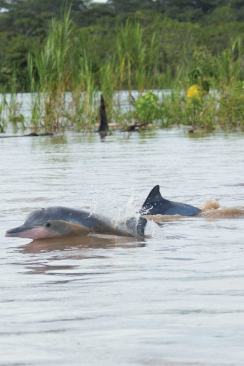 Pink river dolphins in the Peruvian Amazon