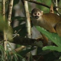 Monkey in the Amazon, Peru