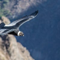 Peru Colca Canyon Andean Condor in flight Contours Travel